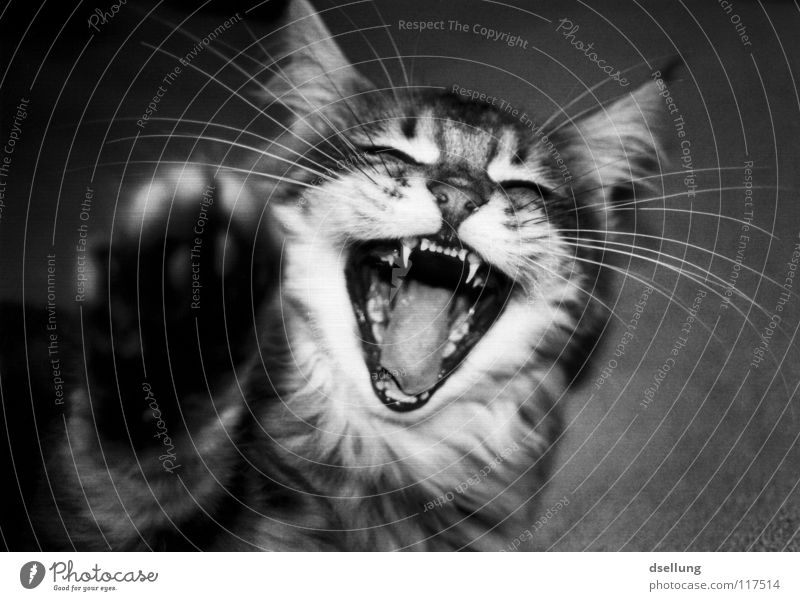 Close up of a cat with paw in the foreground Black & white photo Joy Animal Moustache Cat Catch Laughter Point Soft Gray White Snout Attack Beat Side Dentist