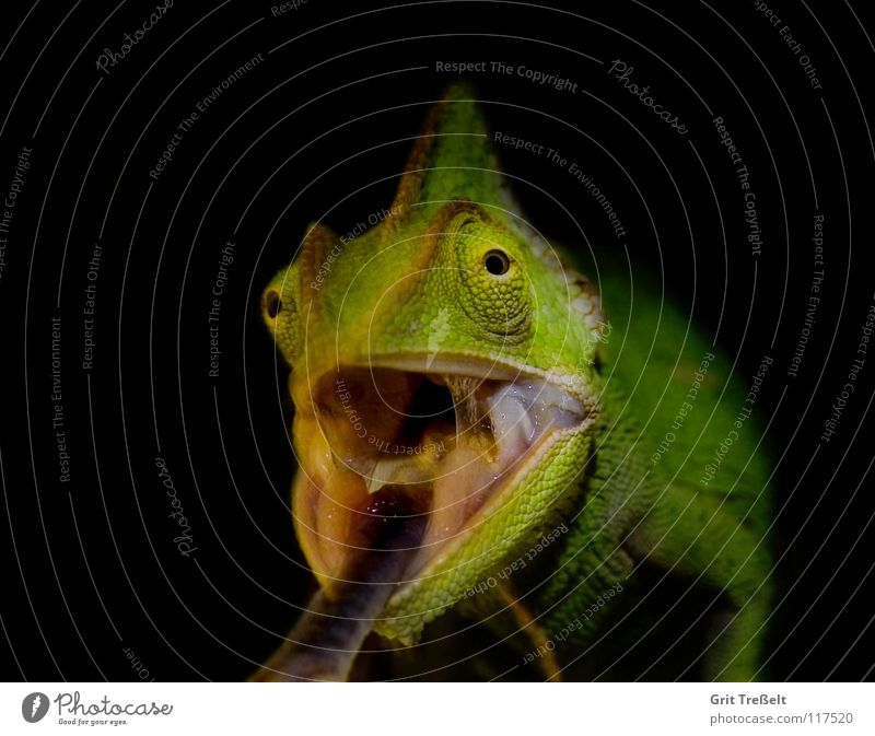 Yemen Chameleon Reptiles Green Tree Black terraristics Tongue
