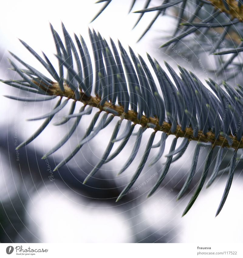 Nature Blue Loneliness Winter Idyll Branch Violet Twig Fir tree Coniferous trees Fir needle