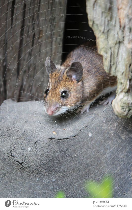 At home with the forest mouse... Environment Nature Spring Summer Garden Forest Barn Mouse garden mouse wood mouse 1 Animal Wood Observe Discover