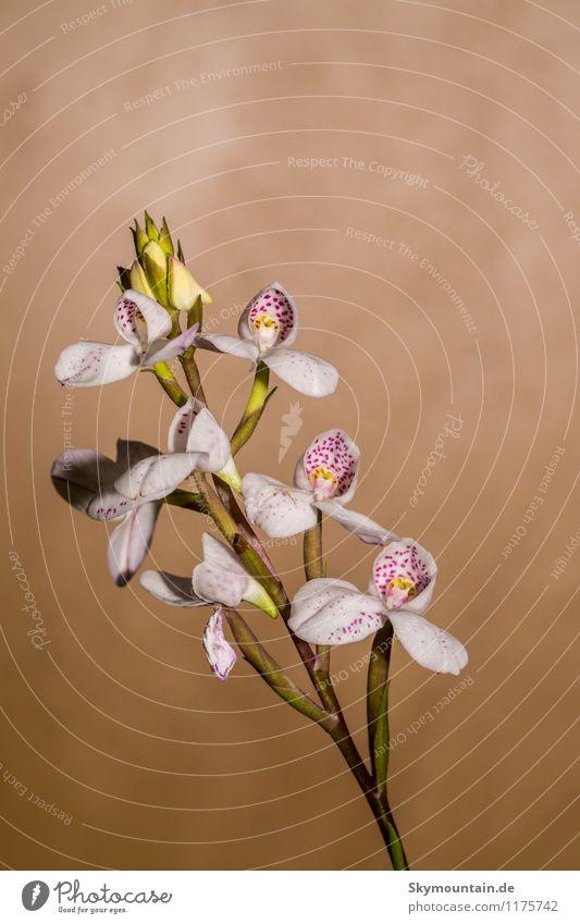 Disa tripetaloides Orchid Orchid Lifestyle Elegant Style Design Exotic Joy Happy Decoration Environment Nature Plant Flower Blossom Virgin forest Esthetic