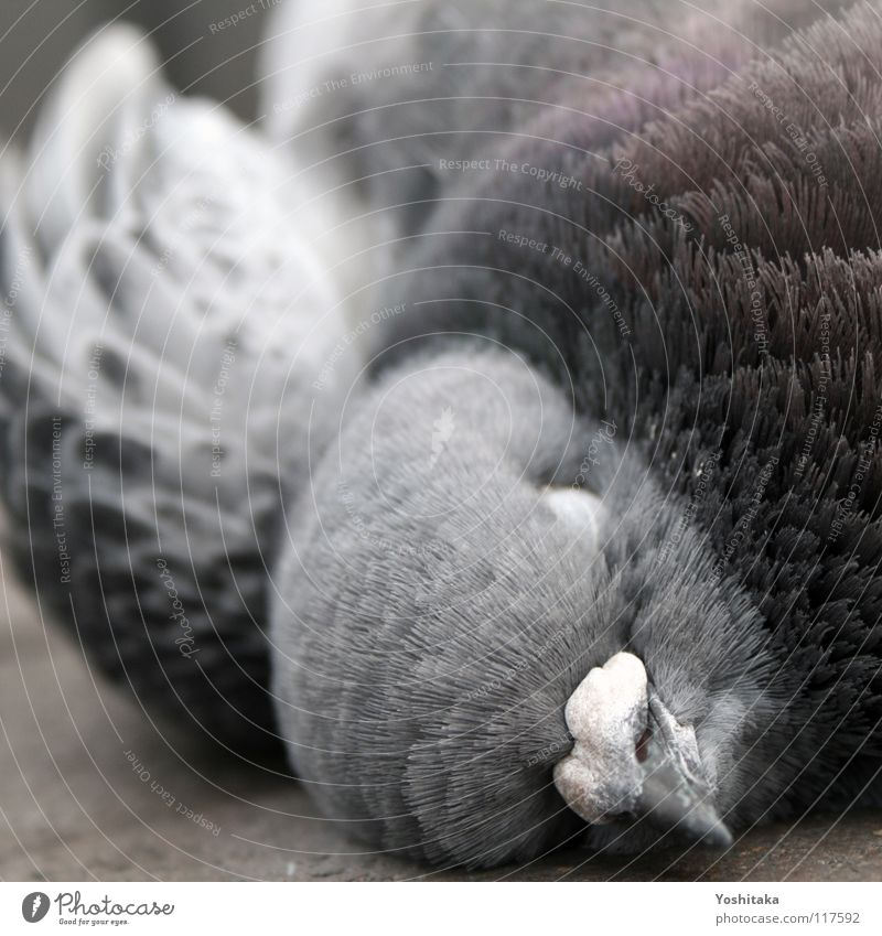 Beautiful Calm Animal Street Life Death Gray Bird Floor covering Feather Transience End Peace Pigeon Beak Peaceful
