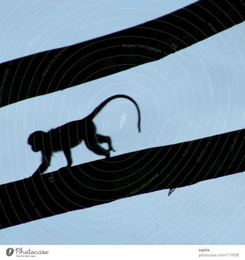longtail macaque on the run Environment Nature Animal Sky Tree Branch Virgin forest Monkeys Tails 1 Movement Walking Running Long Blue Black Fear Lemur Escape