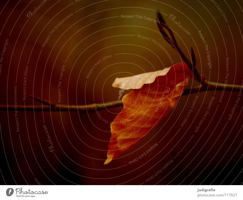 adherence Leaf Tree Beech tree Autumn Winter Deciduous tree Goodbye To hold on Physics Environment Plant Calm Colour Twig Branch Death To fall Warmth Nature
