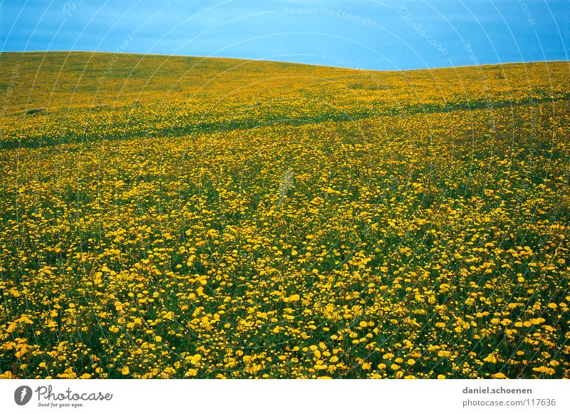 spring meadow Summer Spring Background picture Flower meadow Beautiful Cyan Meadow Leisure and hobbies Blossom Green Yellow Dandelion Relaxation Horizon Hill