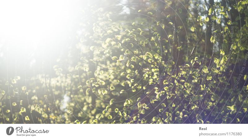 Sun-flooded II Environment Nature Sunlight Spring Summer Beautiful weather Plant Tree Foliage plant Wild plant Leaf canopy Branch Leaf green Beech tree