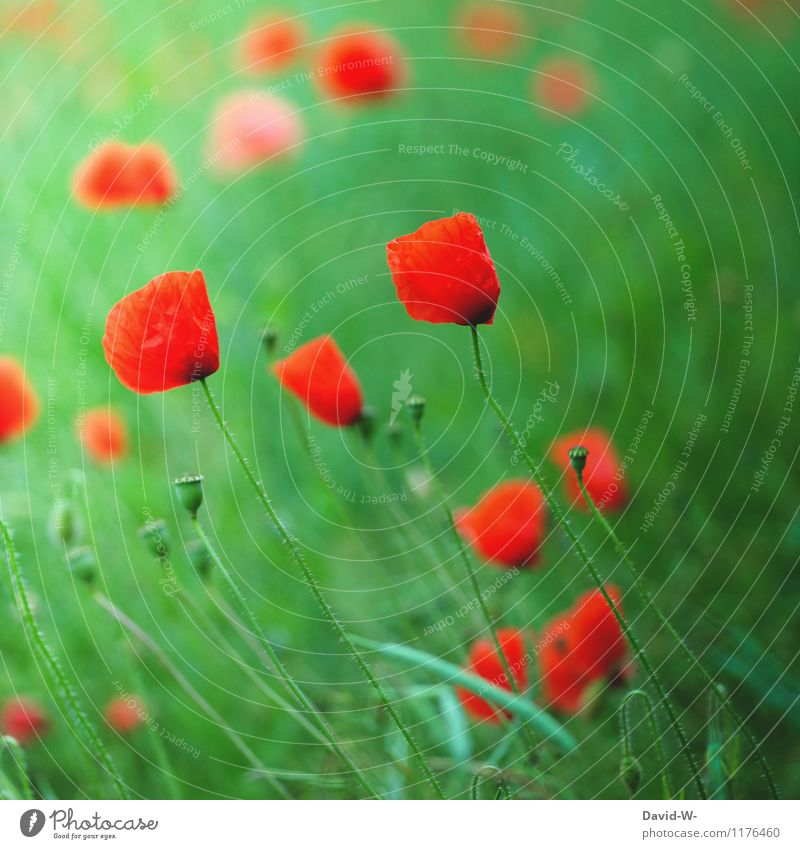 Poppy - glows or blooms Environment Nature Landscape Plant Spring Summer Beautiful weather Flower Foliage plant Agricultural crop Field Blossoming Growth Soft