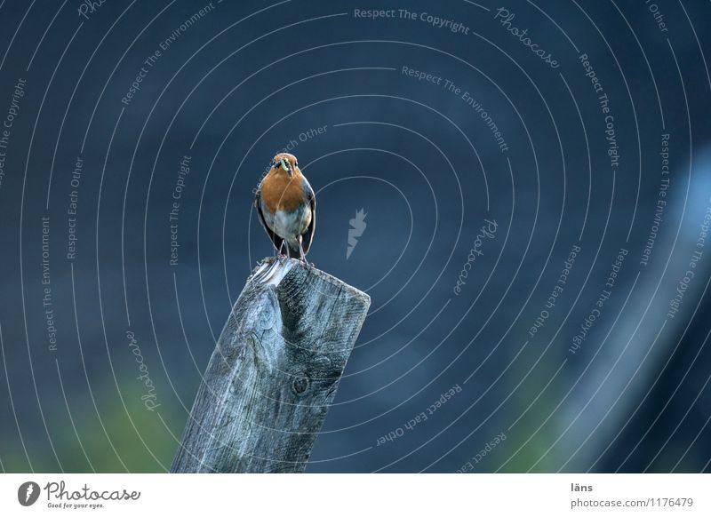 zaungast Bird Robin redbreast Sit Looking Vantage point Nature