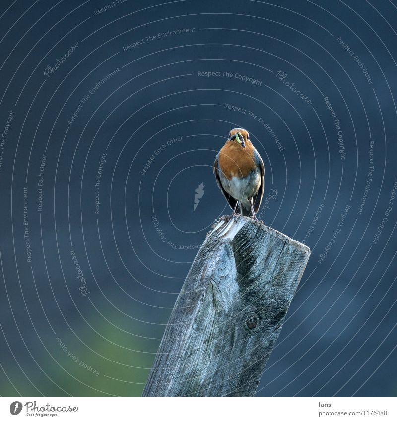 vantage point Bird Robin redbreast Nature Sit Wait Feed