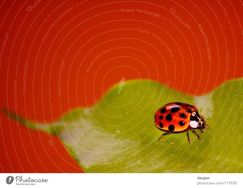 Green Beautiful Red Plant Leaf Small Orange Large Insect Delicate Beetle Ladybird Crawl Carrying