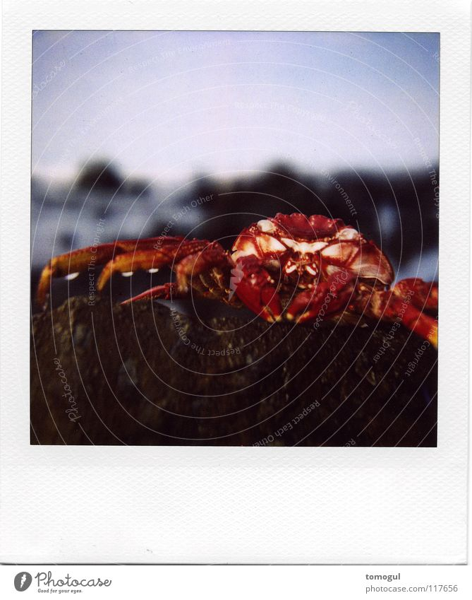Grapsus grapsus Shrimp Ocean Beach Seafood Pair of pliers Wet Signs of the Zodiac Crustacean Fish Shellfish rock crab Armor-plated Water sea dweller Polaroid