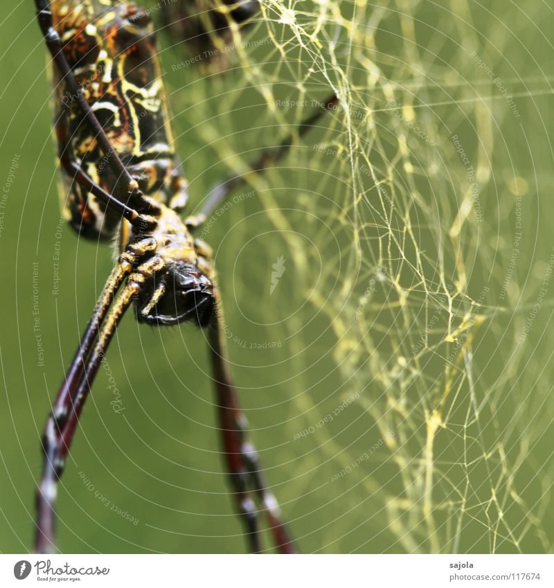 nephila pilipes III Nature Animal Virgin forest Spider Animal face Legs Hind quarters Head Jaw 1 Net Creepy Gold Fear Singapore Asia Sewing thread Colour photo