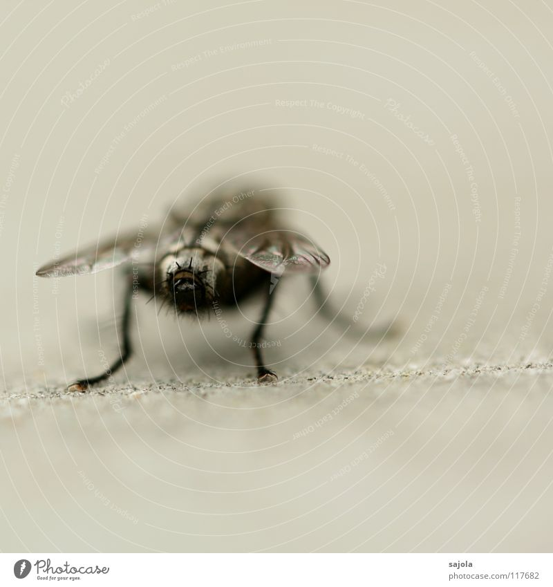 Black Animal Gray Legs Fly Perspective Hind quarters Wing Insect Tiny hair