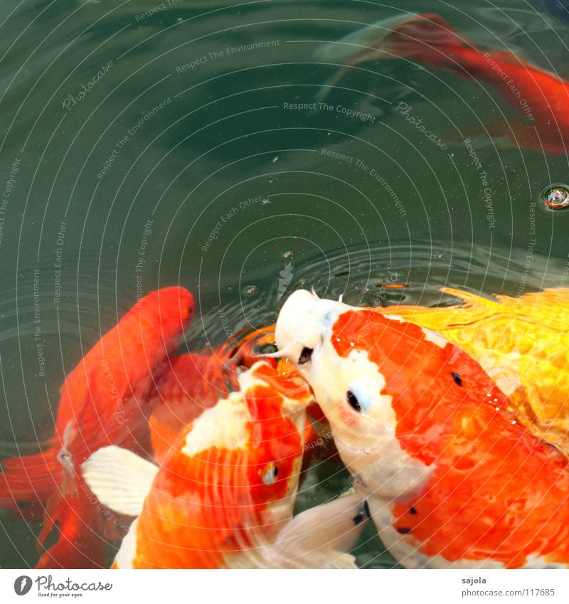 food jogging Animal Water Pond Fish Animal face Scales Koi Fish eyes Fish mouth Carp Group of animals To feed Yellow White Appetite Voracious Lack of inhibition