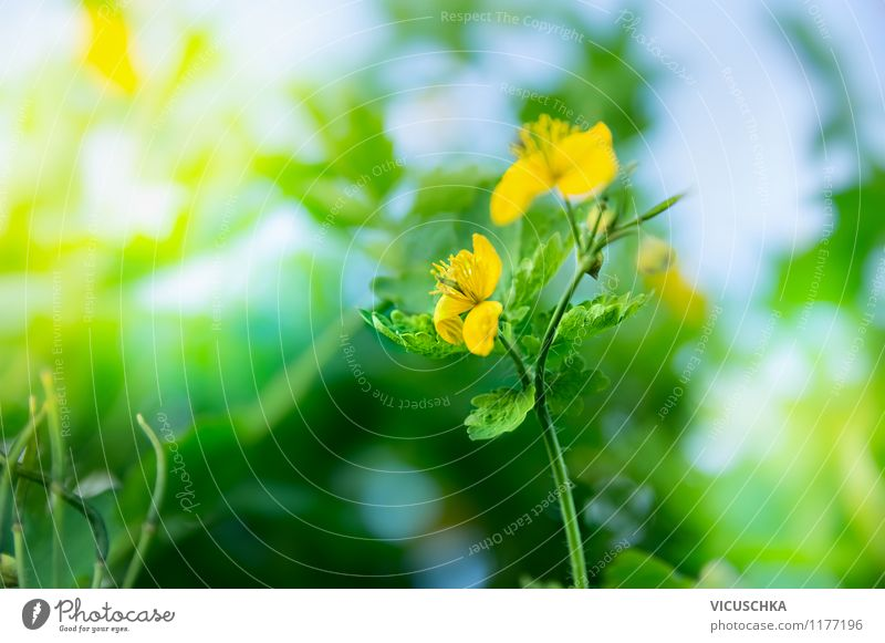 Celandine Blossom Design Summer Garden Nature Plant Sunlight Spring Beautiful weather Flower Foliage plant Wild plant Park Meadow Yellow Background picture