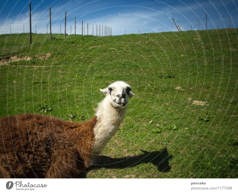 Yoo-hoo! Nature Landscape Summer Meadow Animal 1 Lie Emotions Happiness Contentment Optimism Communicate Llama Fence Game park Allgäu Shadow play