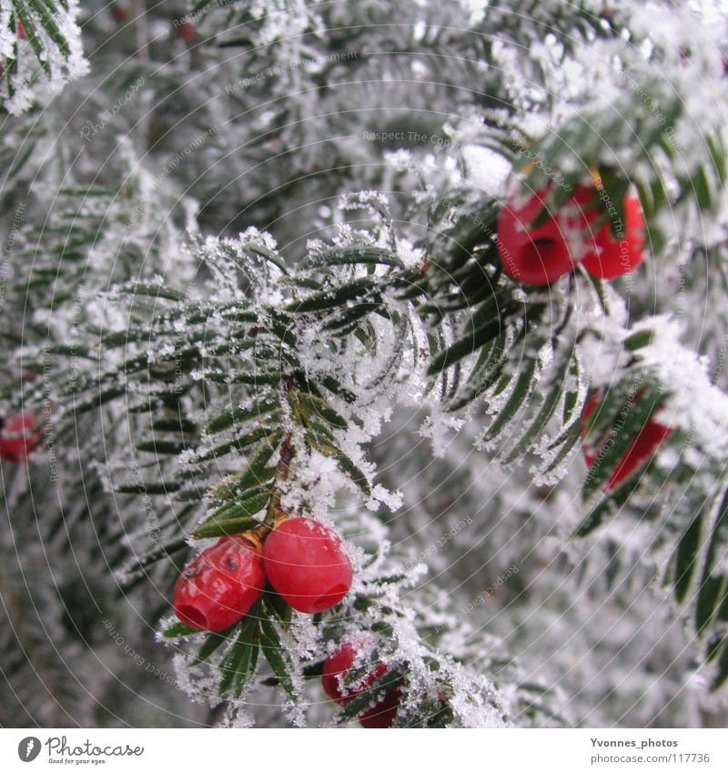 taxus Winter Snow White Fir tree Fir needle Red Rawanberry Coniferous trees Fruit Frost Ice Ice age Hoar frost Frozen Nature Cold To go for a walk Winter walk