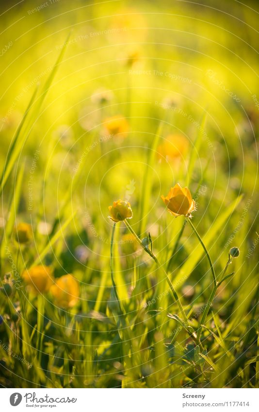 Meadow magic | UT Cologne Nature Plant Sunlight Spring Summer Beautiful weather Flower Grass Marsh marigold Park Blossoming Growth Fresh Small Warmth Yellow