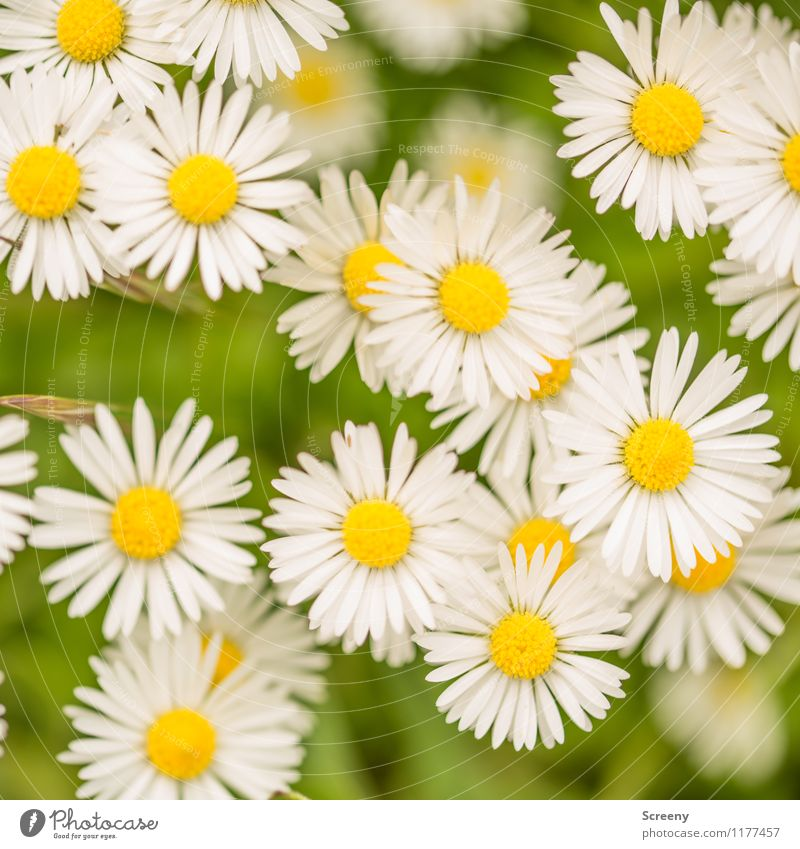 Daisy-Chain | UT Cologne Nature Landscape Plant Spring Summer Beautiful weather Flower Park Meadow Blossoming Growth Small Natural Yellow Green White