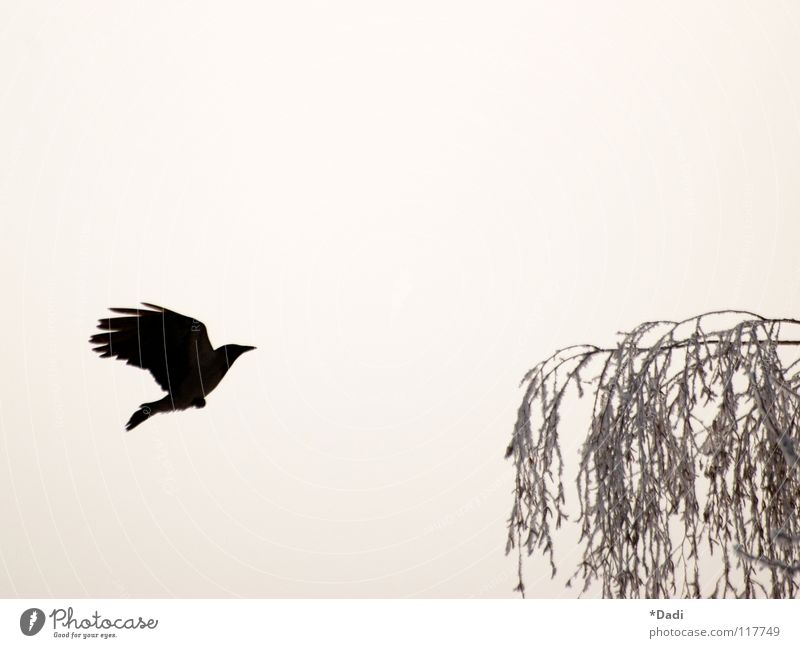 crow Raven birds Black Dark Animal Tree Gray Leaf Bird Crow Air Fog Outstretched Beak Soft Dream Exterior shot Winter Flying Contrast Branch Nature Aviation