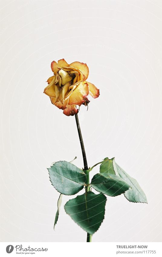 Beautiful Loneliness Flower Calm Sadness Death Transience Grief Rose Pure Delicate Smooth Memory Pallid Blown away