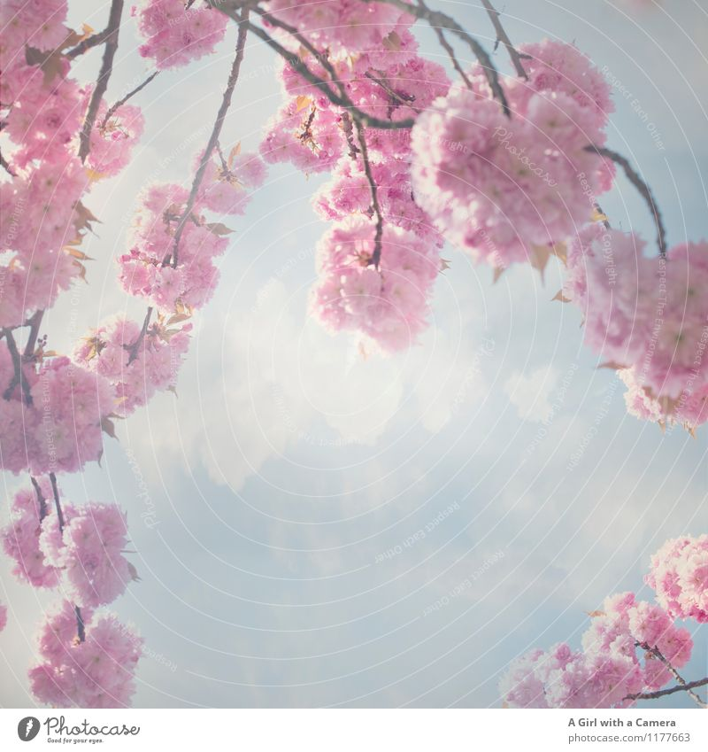 THE BEGINNING Environment Nature Plant Sky Clouds Spring Beautiful weather Tree Blossom Garden Park Blossoming Pink Cherry blossom Splendid Subdued colour