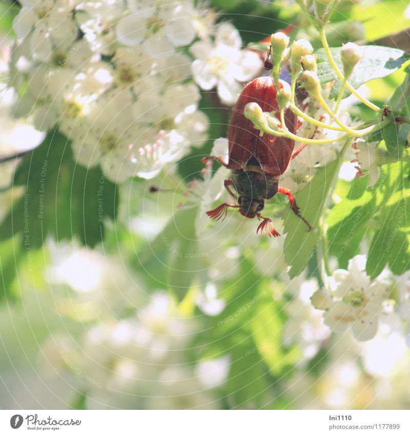 maikäfer I Plant Animal Sun Sunlight Spring Beautiful weather Tree Bushes Blossom Hawthorn Garden Park Wild animal Beetle May bug 1 Observe Movement Discover