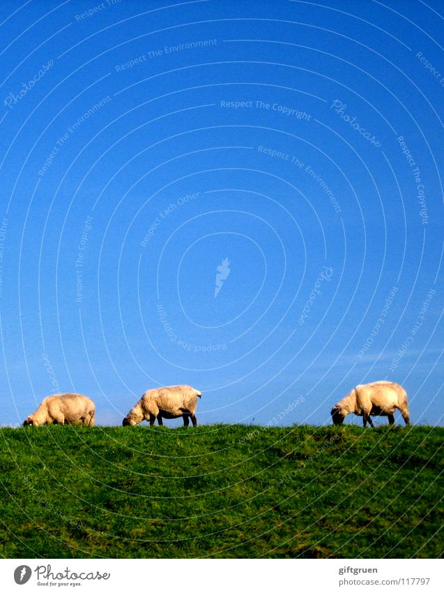 landscape conservation Sheep Wool Rural conservation Lawnmower Meadow Grass Green White To feed Dike Animal Mammal Clothing Mow the lawn Blue Sky Blue sky Wooly