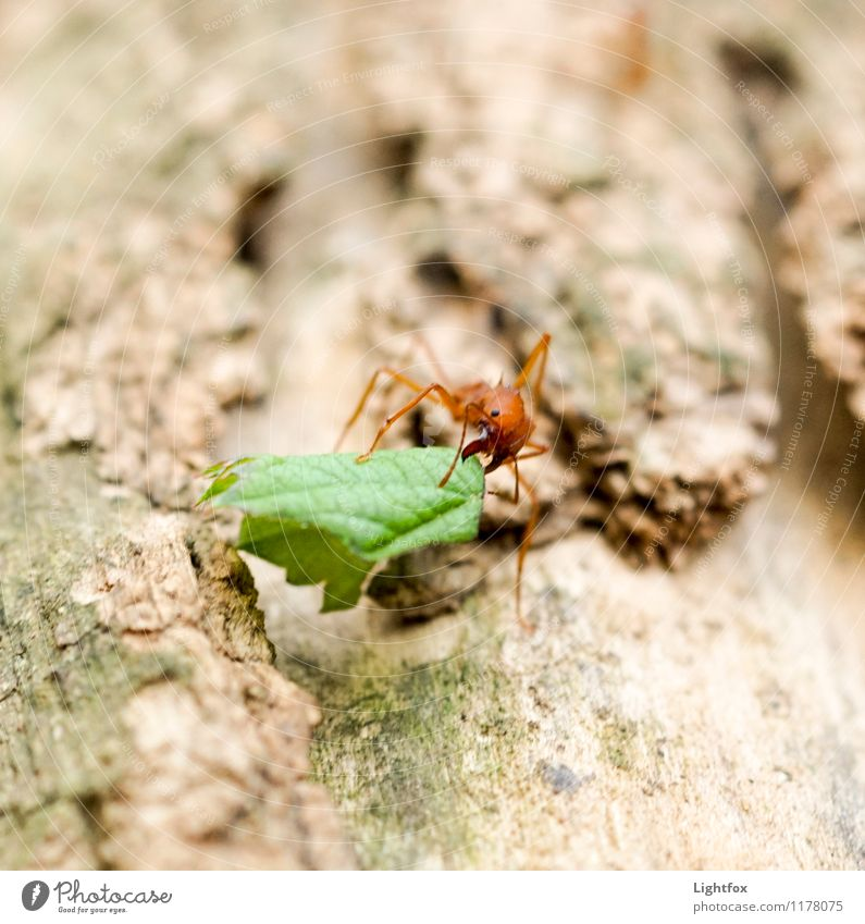 A Meisje Animal 1 Magnifying glass Feeding Natural Green Ant Leaf Pine Logistics Cork Red Poison Strong Insect Colour photo Exterior shot