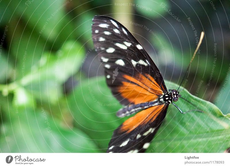 Butter Ilic Butterfly 1 Animal To hold on Flying To enjoy Illuminate Green Orange Black Feeler Delicate Fragile Compound eye Departure Aircraft drone Leaf
