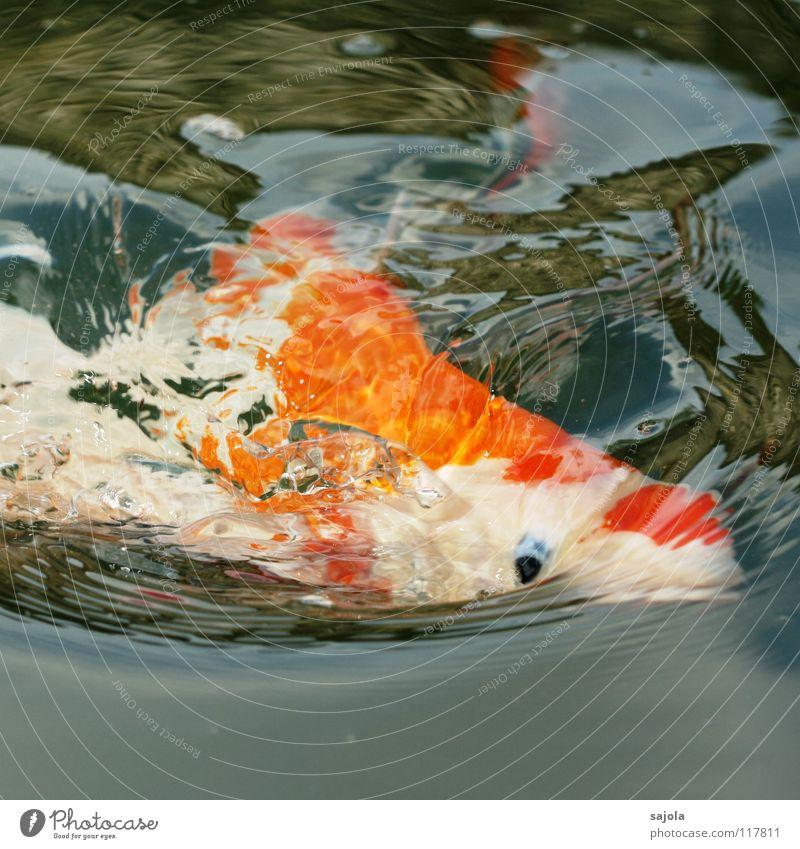 Water White Blue Eyes Animal Orange Fish Animal face Appetite Pond To feed Fish eyes Gaudy Koi Carp Scales