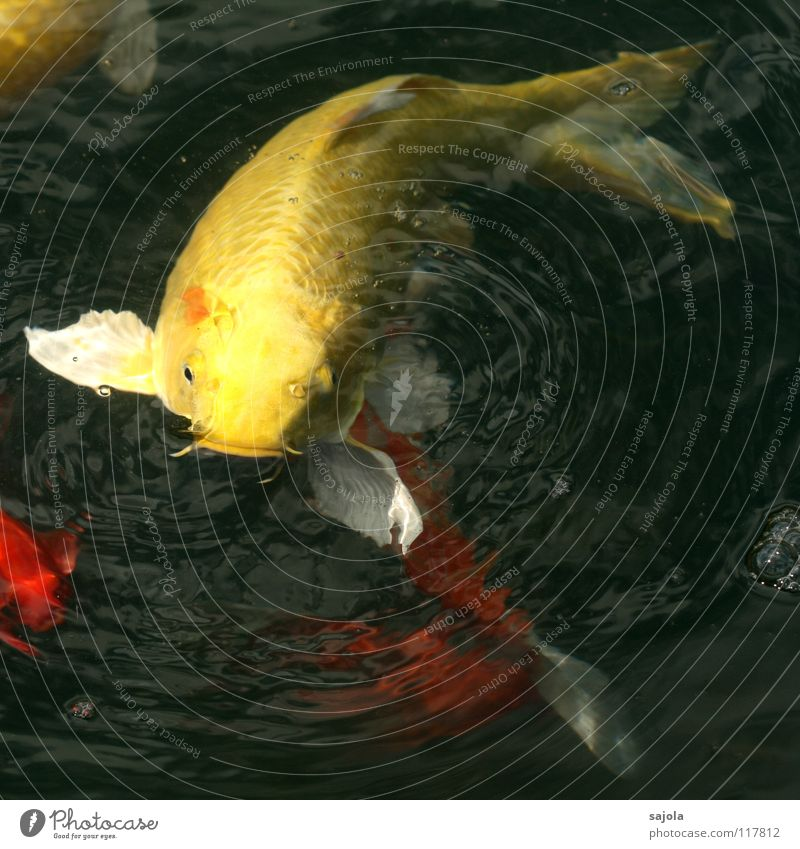 on lukewarm position Animal Water Pond Fish Scales Fish mouth Fin Carp Koi Fish eyes Eyes Head Tail fluke 1 Observe To feed Wait Yellow White Hope Appetite