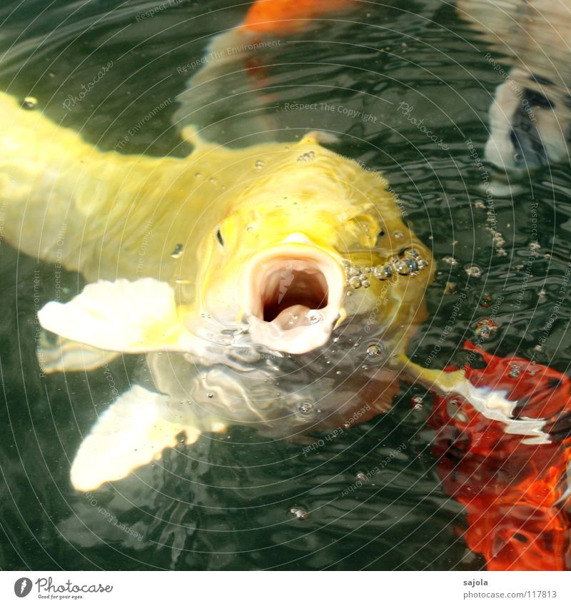 Throw!!!! Colour photo Multicoloured Exterior shot Close-up Macro (Extreme close-up) Blur Animal portrait Looking Forward Fish Water Pond Animal face Scales Koi
