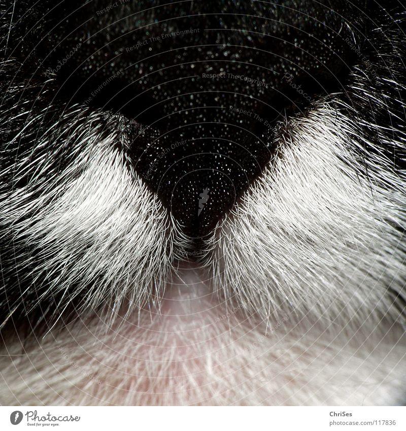 White Beautiful Black Cat Pink Nose Forwards Odor Mammal Bite Muzzle Domestic cat Rip Frontal Scratch