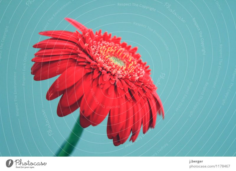 gerbera Nature Plant Spring Flower Blossom Blossoming Blue Red Spring flower vernally Gerbera Colour photo Subdued colour Close-up Detail