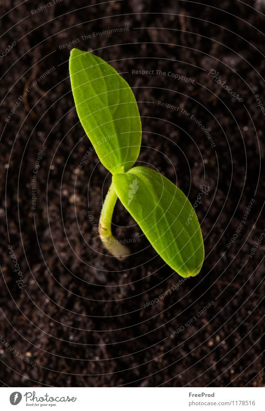 Growing seedling-Spring Vegetable Plant Earth Drops of water Leaf Growth Fresh Green Beginning Agriculture Color Image Copy Space Focus On Foreground