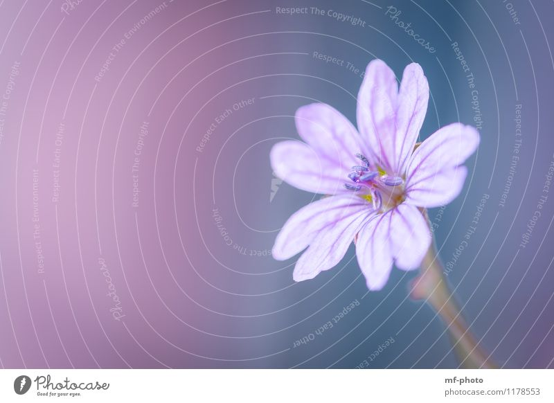 Beautiful Pink Nature Plant Spring Flower Violet Macro (Extreme close-up) Close-up Colour photo Exterior shot Deserted