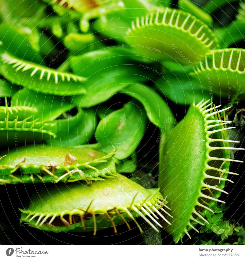 Shut up - fly dead Venus' flytrap Carnivore Plant Green Foliage plant Leaf Blossom To feed Dangerous Deceptive Digestive system Flower Bristles Catch Greenhouse