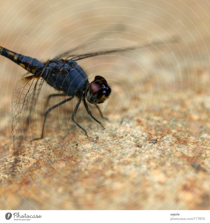 black sun pointer Animal Animal face Wing Dragonfly Insect Eyes Compound eye 1 Stone Observe Wait Thin Blue Violet Black Asia Singapore Looking Protection