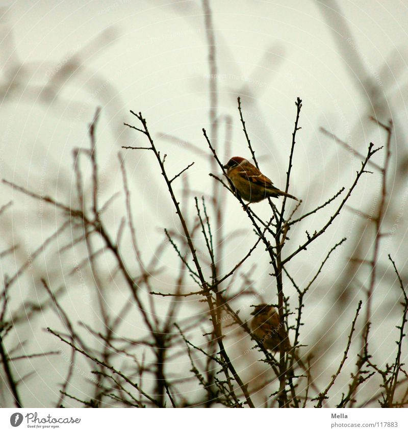Sparrow winter III Bird Small 2 Together Matrimony Tree Bushes Gloomy Empty Leafless Lack Cold Loneliness Gray Colorless Silver lining Horizon Desire Hope Grief
