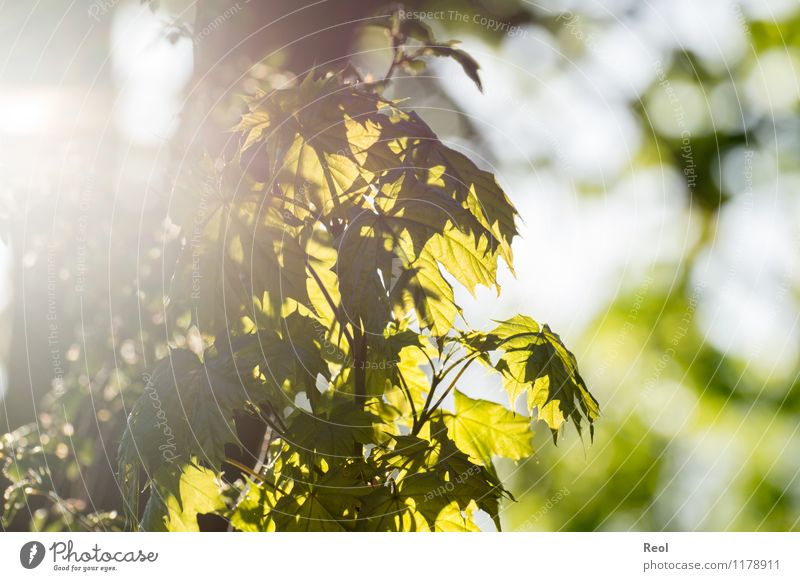 maple Nature Plant Sun Sunlight Spring Beautiful weather Tree Foliage plant Wild plant Leaf green Maple leaf Maple tree Garden Forest Growth Bright Natural