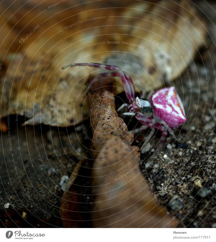 contrast program Crab spider White Violet Brown Insect Aggressive Leaf Plant Animal Crawl ambush hunter Two Claw Spider Dionycha Poison Pine Floor covering