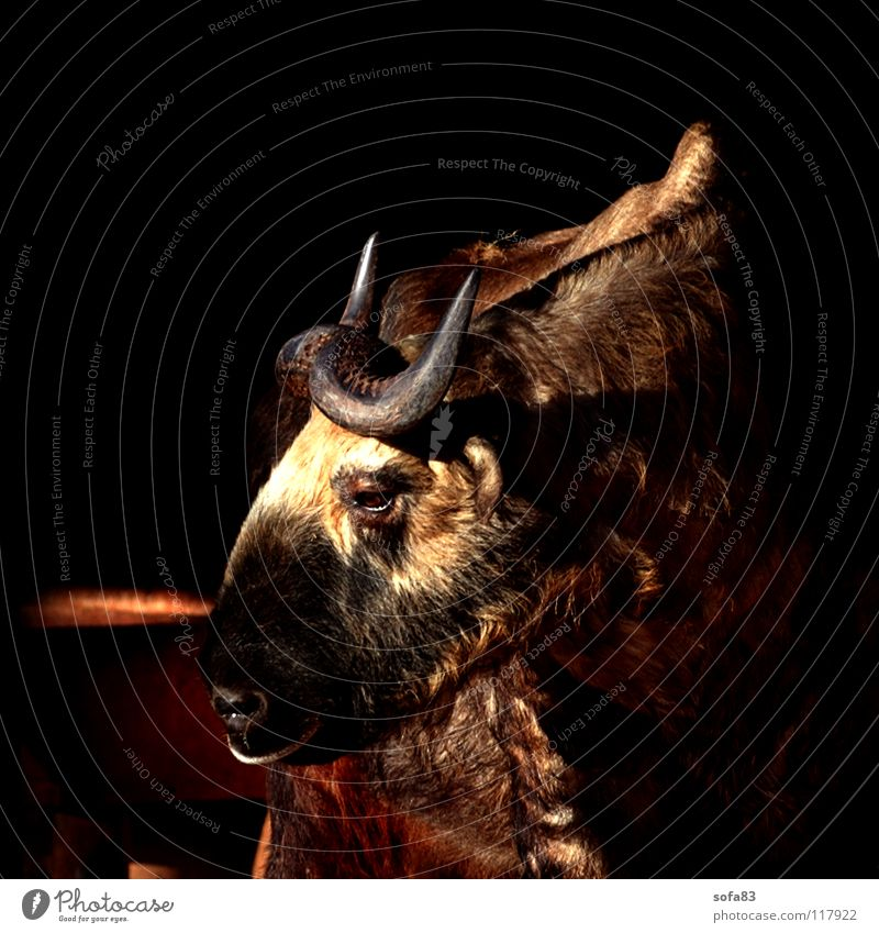 Sun Animal Brown Observe Zoo Side Animalistic Boredom Antlers Mammal Cattle Brownish Sideways Aurochs