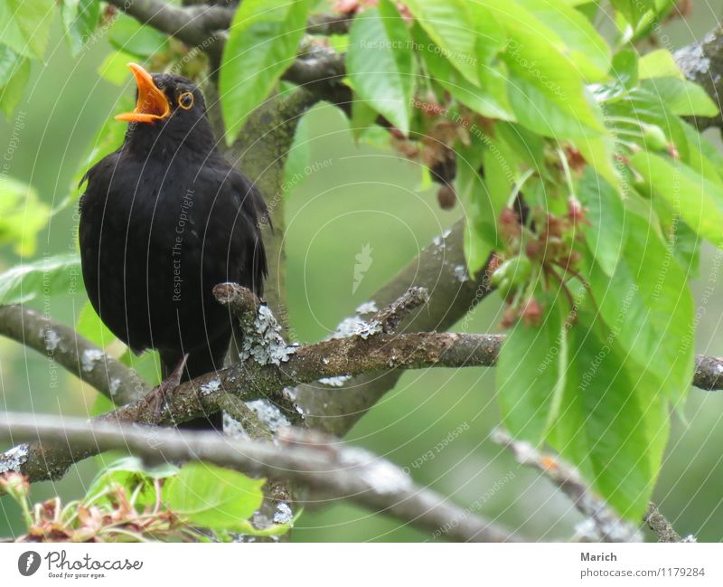 singing blackbird Bird 1 Animal Listening Authentic Free Happiness Near Emotions Moody Joy Happy Joie de vivre (Vitality) Spring fever Love of animals Life