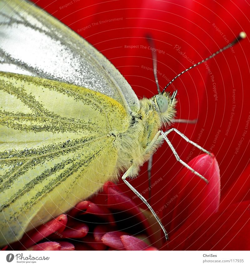Rapeseed white butterfly; served in red Pieridae Summer Spring Butterfly Insect White Red Blossom Sprinkle Judder Flying animal Animal Feeler Northern Forest