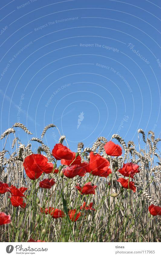 Please clap poppy seeds! Poppy Field Meadow Red Beige Corn poppy Physics Cold Half Horizon Sky Blue Floral Warmth Bouquet