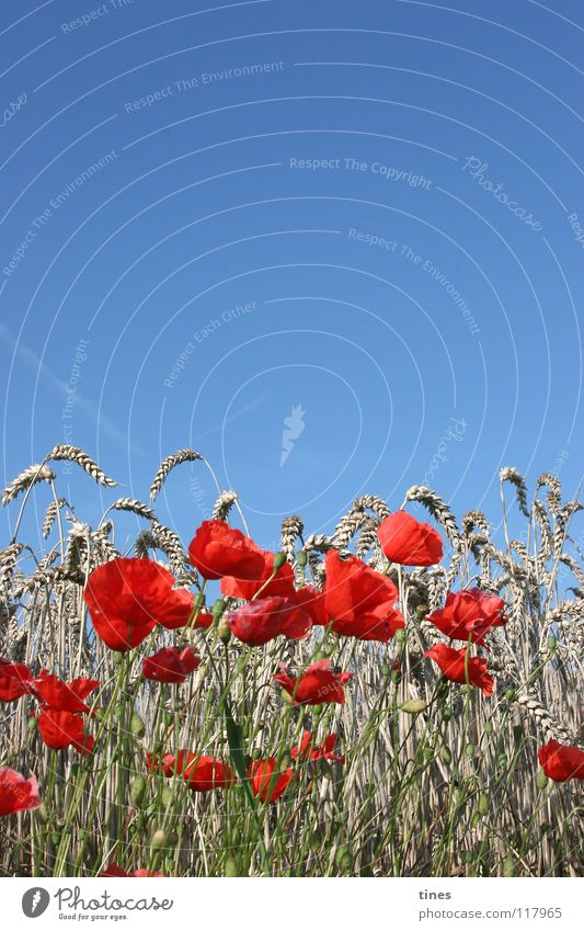 Sky Blue Red Cold Meadow Warmth Field Horizon Physics Poppy Bouquet Half Beige Flower Part Corn poppy