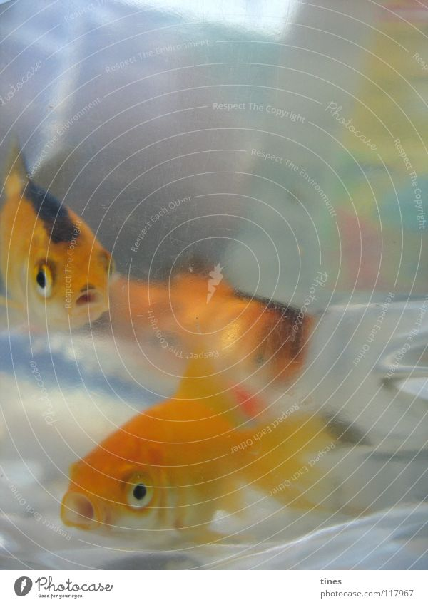 Hoi Baby Koi! Looking Curiosity Fish Gold Bubble Logistics Water Marvel Eyes Swimming & Bathing