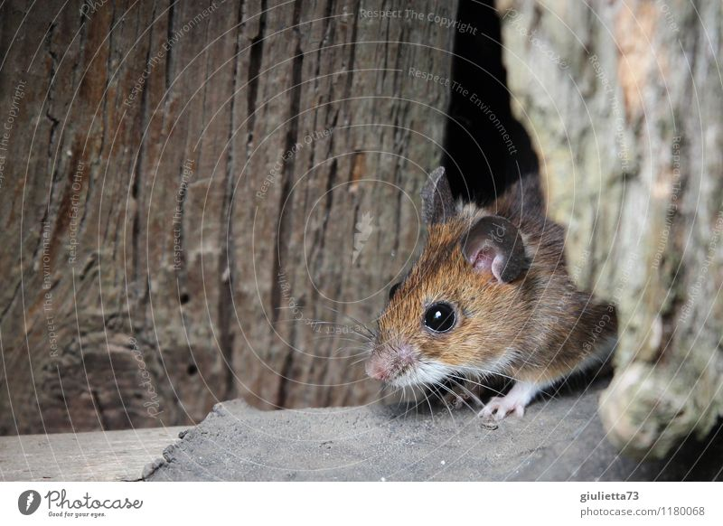 Mouse, look out! Wild animal wood mouse garden mouse 1 Animal Storage shed Barn Wood Observe Listening Looking Brash Beautiful Small Astute Curiosity Cute Brown