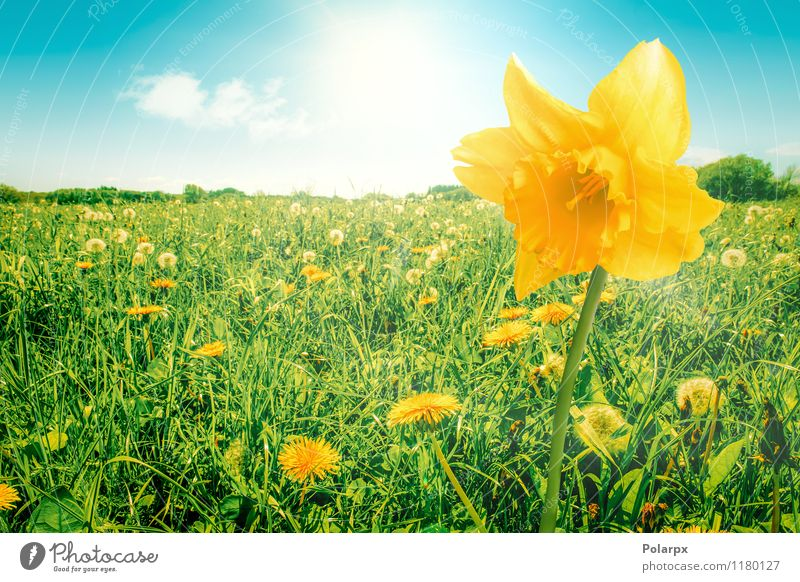 Daffodil on a field Beautiful Summer Sun Garden Decoration Easter Gardening Environment Nature Plant Sky Spring Flower Grass Leaf Blossom Meadow Bouquet Growth